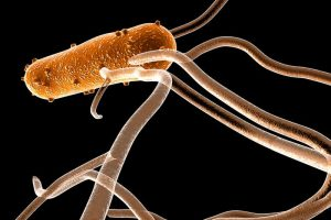 Salmonella can hijack immune cells to spread around the body