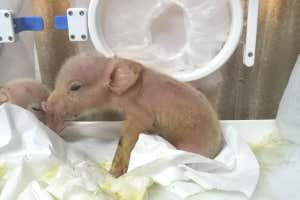 Exclusive: Two pigs engineered to have monkey cells born in China